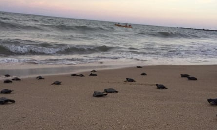 Turtles walk from beach to sea