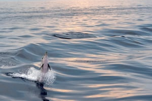 A baby dolphin jumping at sunset in the Gulf of Genoa, Italy