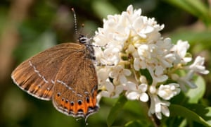 Black hairstreak butterflies, one of the country's rarest species, are having a great summer