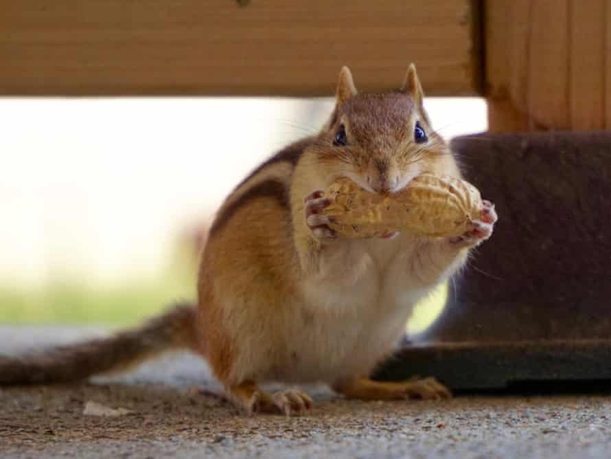 'Chippy' the chipmunks, seen in Ontario, Canada