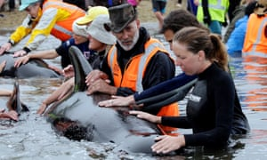 Volunteers look after a pod of stranded pilot whales as they prepare to refloat them after one of the country's largest recorded mass whale strandings.