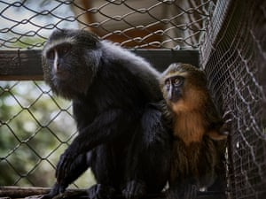 A juvenile Hamlyn's monkey in an enclosure at Lwiro Primate Centre. The Hamlyn's monkey is a rare species, found mainly in eastern DRC, and a prime example of a unique species threatened by the bushmeat and pet trades