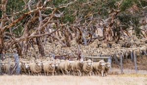 Sheep coming in to have the rams pulled out of the group at Corriedale Hills, Inman Valley, South Australia.