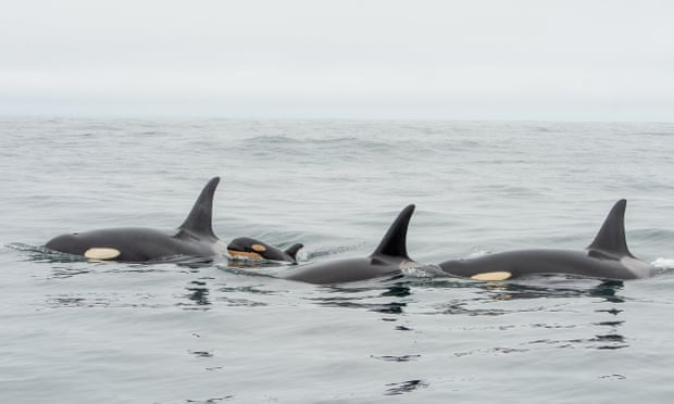 Petition: Take Action to Save Endangered Orcas