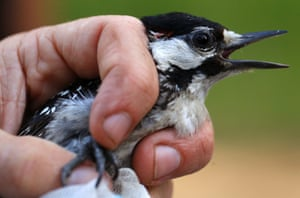 North Carolina , USA red-cockaded woodpecker is held by a biologist collecting data on the species at Fort Bragg. The bird was caught, measured and banded as part of an ongoing study of the endangered species.