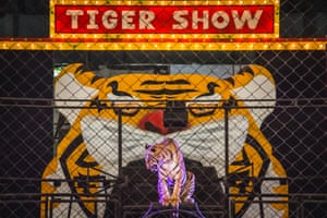 Tigers in a tiger show. Handlers use food to keep them performing.