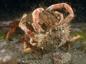 A mating pair of spiny spider crabs.