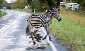 Escaped zebra runs across a road in the village of Thelkow, north-east Germany