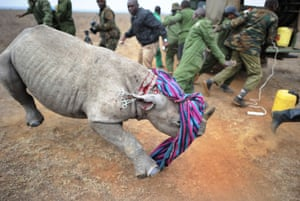 Kenya Wildlife Services staff back away from a tranquilised black rhino calf after she appeared to prematurely overcome the sedative at the Nairobi national park
