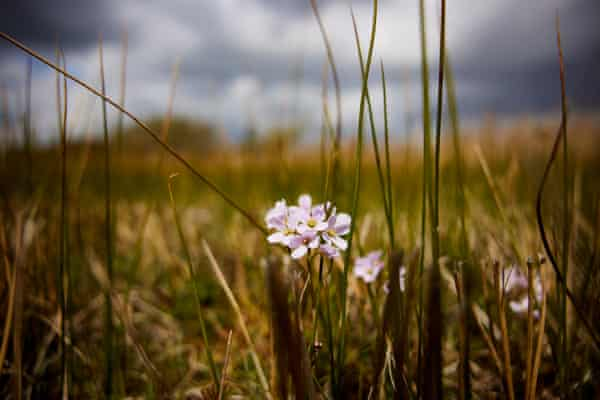 Cuckooflower among the reeds at Saltfleetby-Theddlethorpe