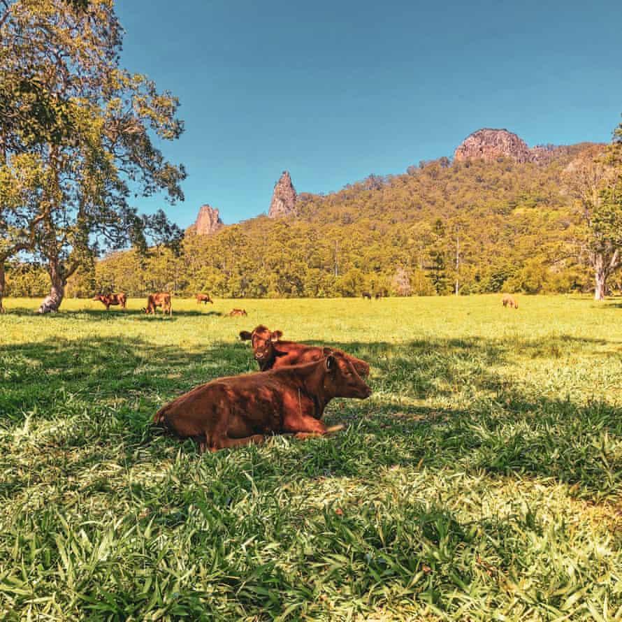 Hemp-fed Wagyu cows at Nimbin Farm