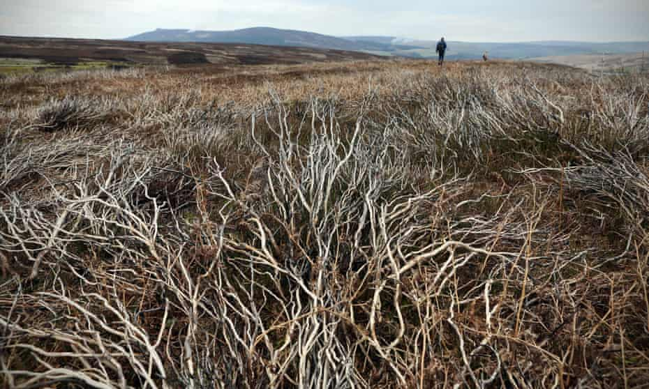Heather burnt in previous years on Barden Moor in the Yorkshire Dales.