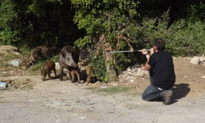 Aiming a tranquilliser dart at a family of wild boar in Barcelona.