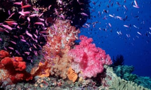 Soft coral seascape with Fairy basslets Pixie Pinnacle, Ribbon Reefs, Great Barrier Reef, Australia.