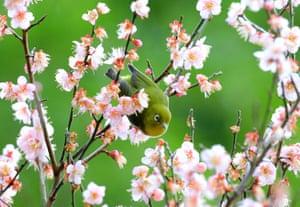 A Japanese white-eye in a plum tree in Oinoyama Park in Shimonoseki, Yamaguchi, Japan