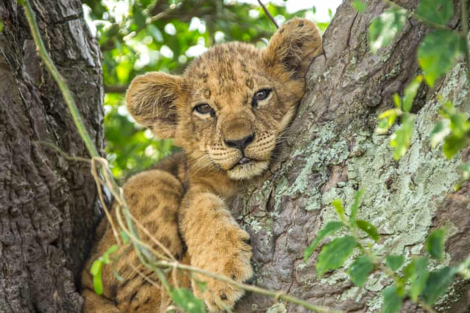 A lion cub resting in the branches of a tree