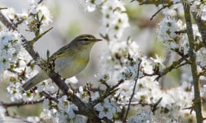 A willow warbler sits among the hawthorn blossom