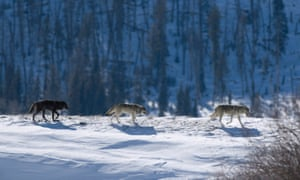 A pack of gray timber wolves roam Yellowstone.