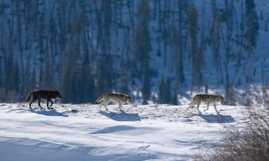 Yellow stone gray wolves