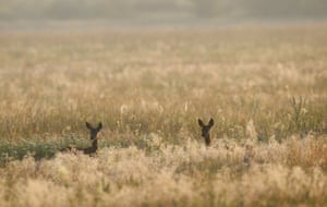Deers stand in a field at sunrise near the village of Lyubcha, in Belarus, which is currently experiencing a heatwave