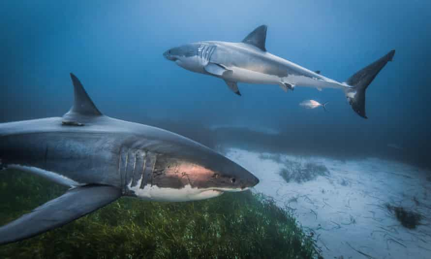 Great white sharks. The scientists showed that the cold limit for the young sharks moved northwards by an average of 600km between 2014 and 2020.
