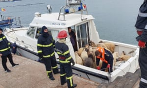 Sheep rescued from the capsized livestock transport vessel