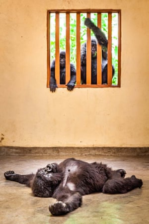 Man and nature category winner: EmpathyAn orphaned gorilla at a health examination
