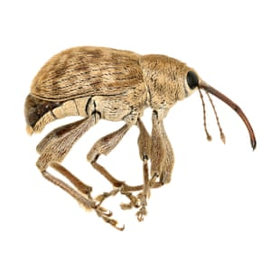 Acorn weevil (Curculio occidentis), discovered as part of the BioScan project at the Natural History Museum in LA county
