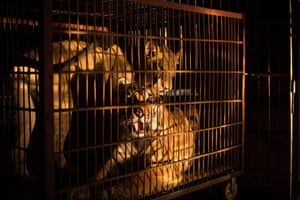 A Siberian tiger (bottom) and an African lioness in a small cage at the camp of the Chinese Prosperous Nation Circus Troupe in Dongguan