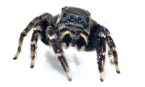 Jotus karllagerfeldi, also known as Karl Lagerfeld's jumping spider, is one of the five new species of spider identified