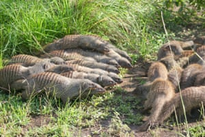 Two banded mongoose groups form battle lines during an encounter in Queen Elizabeth national park, Uganda