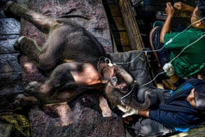 Saree, Indonesia: A the three week-old Sumatran elephant calf receives medical attention at Saree elephant conservation centre after being stuck in mud