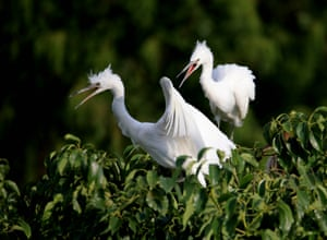 Egrets at Wan'an forest park in Huangshan, China