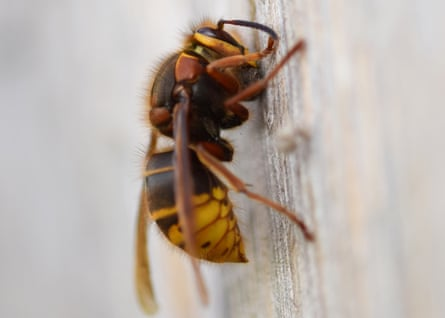 A queen French wasp rolls wood fibres into a ball ready to transport to the nest site.