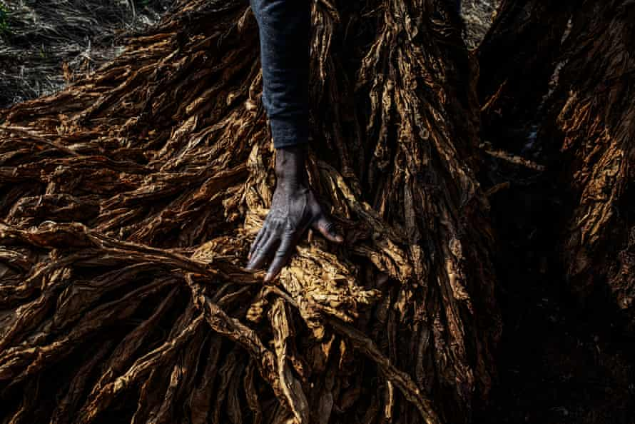 A tobacco worker in a field near the main road to Caserta