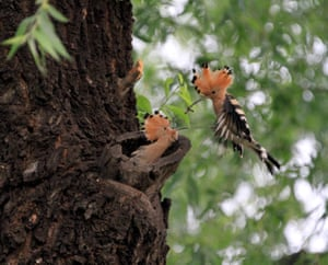 A hoopoe feeds its chick in a Beijing park, China