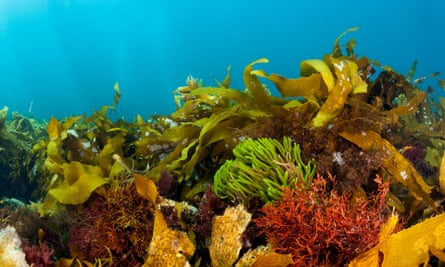 Common kelp has taken over from the giant kelp forests that used to dominate Tasmania's coastline.