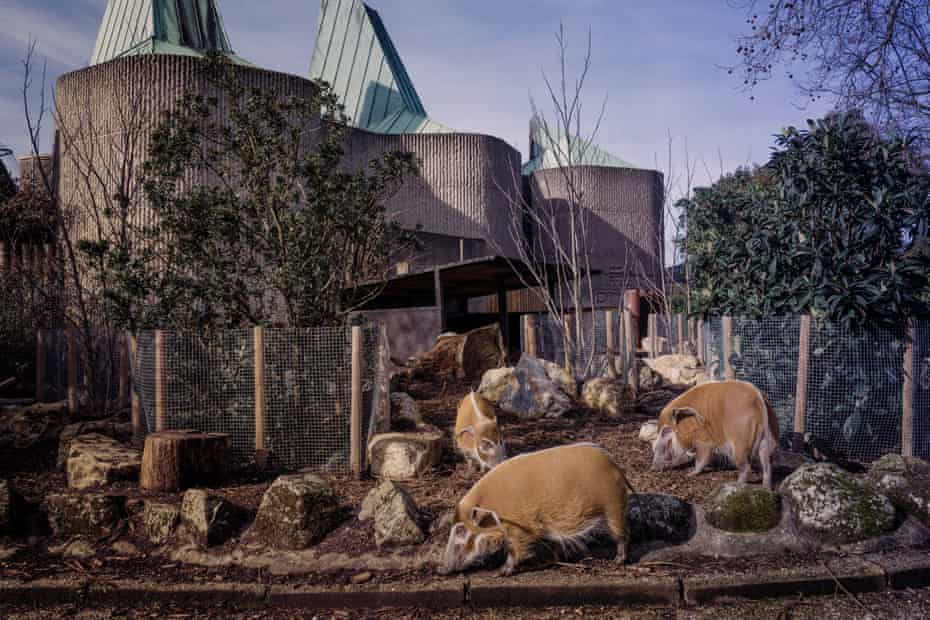 """Red River Hogs. They are fiercely intelligent and have their feed scattered so that they can hunt out every last morsel by foraging as they would on the forest floor. Scatter feeds are pat of """"enrichment"""" which encourages the animals natural behaviour."""