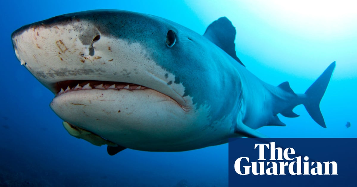 Tiger sharks are not scared of hurricanes, US researchers say