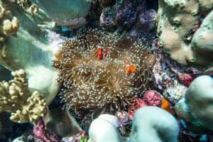Clownfish in sea anemone in the Selat Dampier MPA.