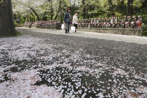 Japan's cherry blossoms used to reach their peak bloom just as the country celebrates the start of its new school and business year. Yet that date has been creeping earlier and now most years the blossoms are largely gone before the first day of school.