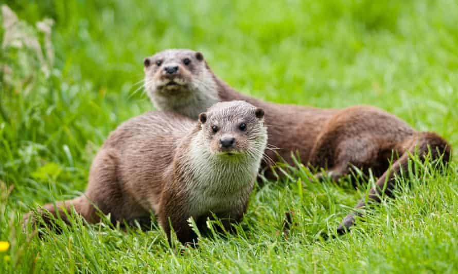 Elusive European otters.