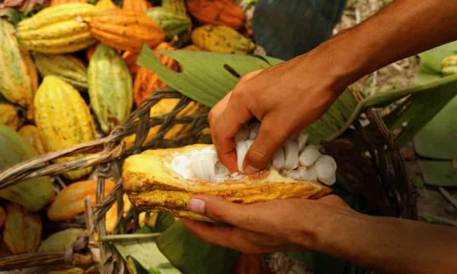 The cacao that goes into Ta'ok chocolate.