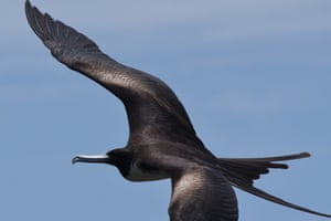 A magnificent frigatebird flys over Contoy Island in Mexico