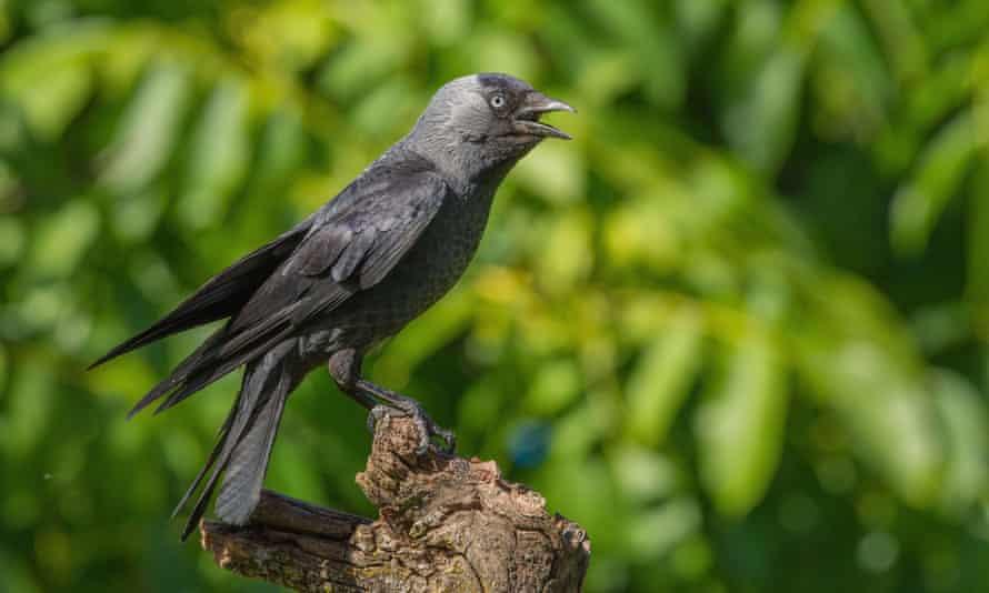 Jackdaw (Corvus monedula), calling.