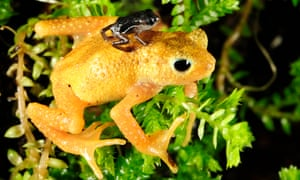 A newborn Kihansi spray toad clings to the back of an adult female at the Bronx Zoo in New York. The toad was last seen in the wild in 2004.