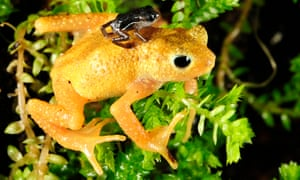 The Kihansi spray toad was saved by conservationists. Here, a newly-born Kihansi spray toad clings to the back of an adult female at the Bronx Zoo in New York in2010. In an effort to save the rare toad from extinction, New York's Bronx Zoo and the Toledo Zoo in Ohio have sent 100 Kihansi spray toads to Tanzania. The toad was last seen in the wild in 2004.