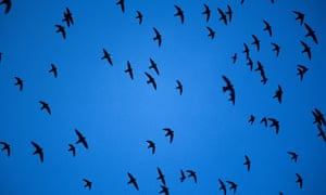 Thousands of swifts fly out of the Sótano de las Golondrinas.