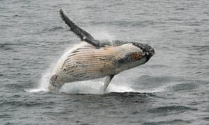 A humpback whale jumps out of the water