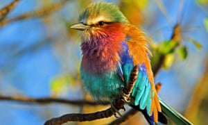 Only 54% of the Lilac-breeasted roller's, Coracias caudatus current distribution is projected to retain suitable climate by 2085